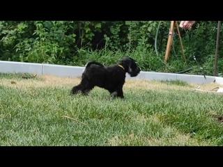 Fortuna Minion Somebody Real Special💛 Little Prince🐾 Zwergschnauzer Puppy