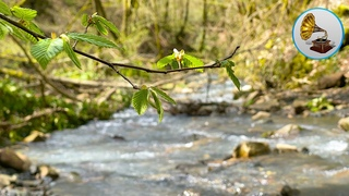 Relaxing sound of a mountain river with birdsong for relaxation and sleep.