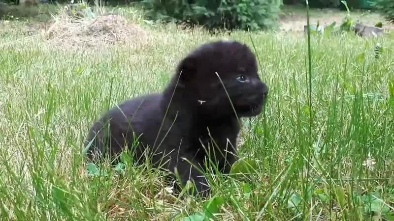 Недавно родившиеся пантеры в Барнаульском зоопарке стали звездами социальных сетей