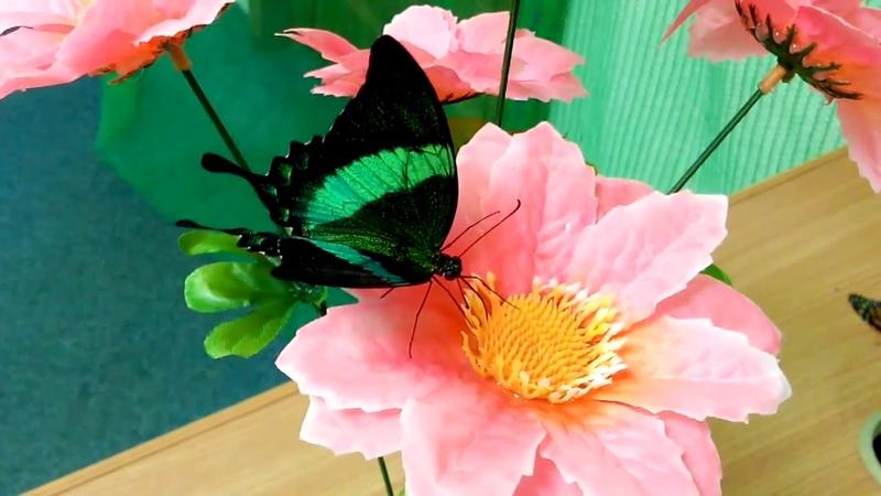 Papilio Palinurus или Парусник палинур изумрудная бабочка