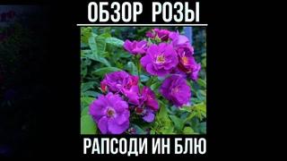 Обзор розы Рапсодию ин Блу  (Парковая) - Rhapsody in Blue (Warner, 2002)