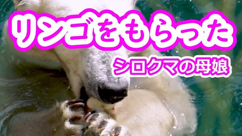 リンゴをもらった💗シロクマの母娘 天王寺動物園