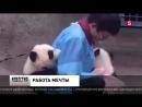 В китайском зоопарке перемыли всех маленьких панд