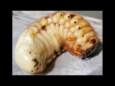Ни паук, ни змея, а родственник колорадского жука - обладает самым мощным природным ядом на планете