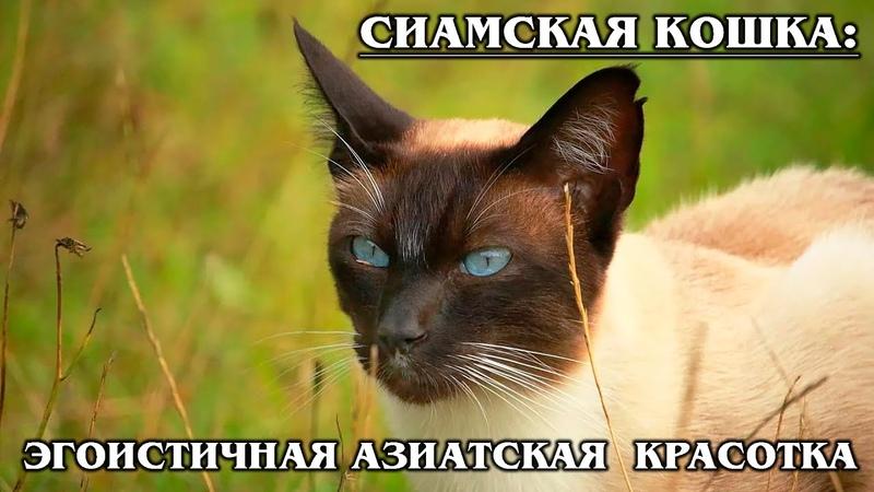 СИАМСКАЯ КОШКА Своенравная красавица из Тайланда | Интересные факты о сиамских кошках