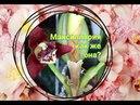 МАКСИЛЯРИЯ развитие, об уходе, цветоносы. maxillaria tenuifolia