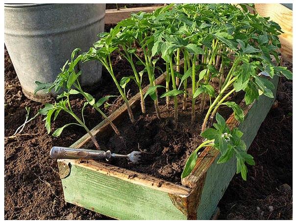 Рассаду помидоров поливают раствором йода для более быстрого...