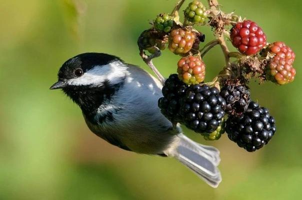Как отпугнуть нахальных птиц от сада и не дать склевать урожай ягод