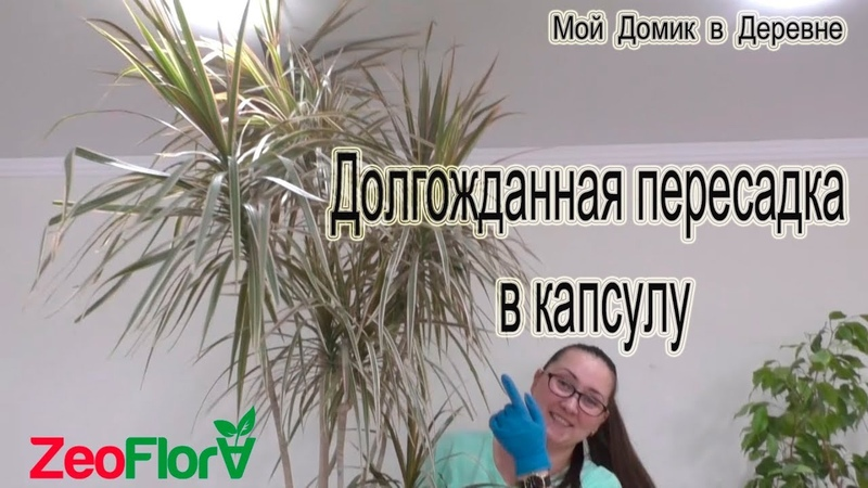 Пересадка драцены в капсулу из цеофлоры!Драцена маргинатаDracaena marginata