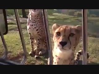 А вы знали, что гепарды мяукают, а не рычат