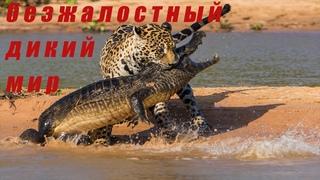Леопард против Крокодила! Нападение Льва, Крокодила, леопарда в дикой природе.