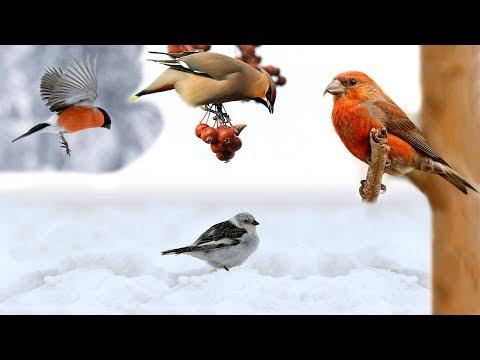 Птицы гости. Перелетные птицы в зимний период.