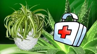 Лекарственные комнатные растения.  Растения умеют лечить!