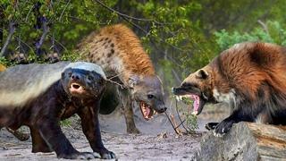 Мощные драки Медоеда и Росомахи против Волков, Гиен, Леопардов и Питона.