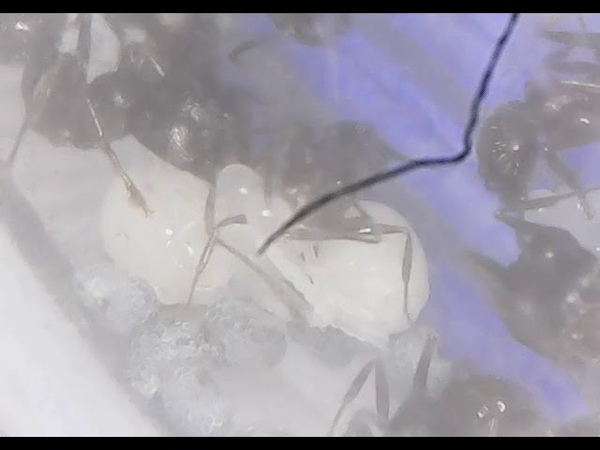 Ants Messor structor Pupae and eggs
