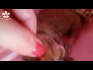 котята Каракала(порода Каракет) возраст 3 дня