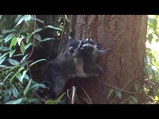 Мама енот учит детёныша лезть на дерево/Mother Raccoon teaches kid how to climb a tree
