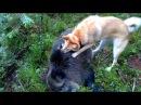 Охота на кабана с лайкой.