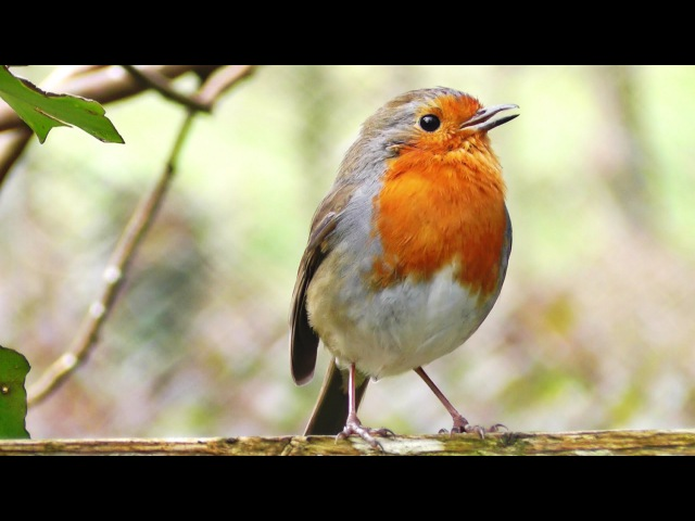Robin Birds Singing and Chirping : Beautiful Bird Sounds and Bird Song