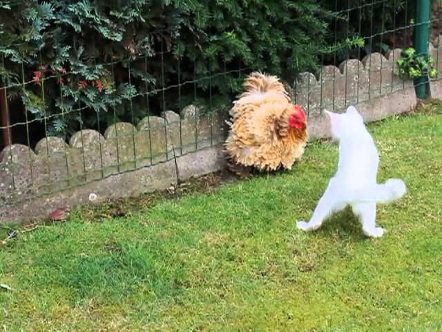 Cat (Dash) vs Chicken (Mora)