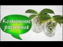 7 Орхидеи в стекле Фаленопсис без коры грунта Отсаживаем детку Убираем старые листья 2016