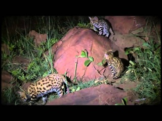 Wildlife Wonder-Black Footed Cats