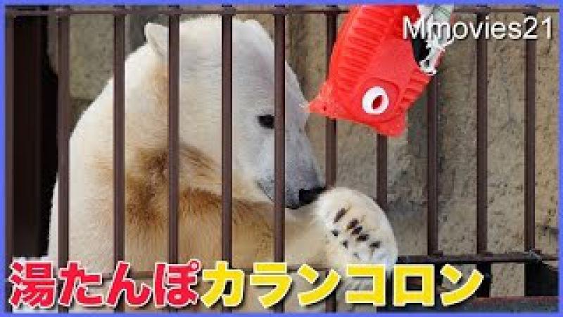 湯たんぽを触って遊ぶリラ 食後のホッキョクグマ親子 Polar Bears