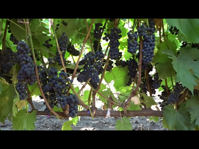 Виноград Маршал Фош на 14.08.17, Красохина СИ
