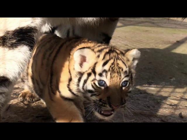 Как тигрица Скарлетт малыша принесла показать. Тайган Tigress has brought to show a tiger cub