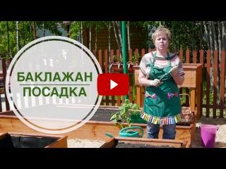 Посадка баклажан в высокие грядки - Секреты выращивания от hitsadTV