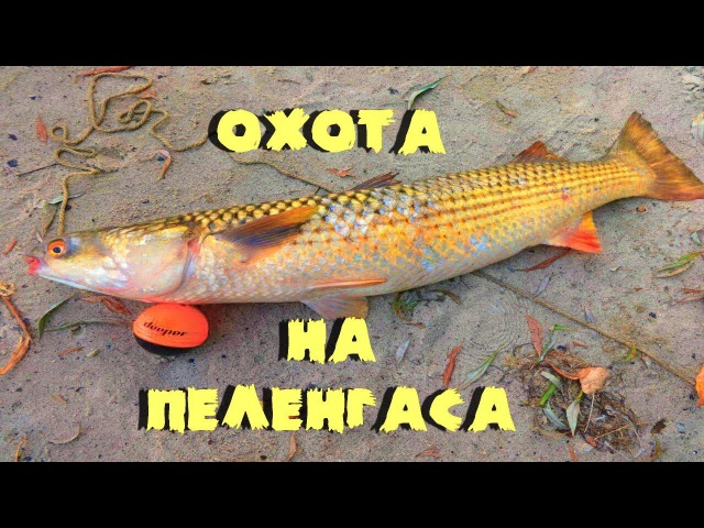 Рыбалка пеленгас на дону