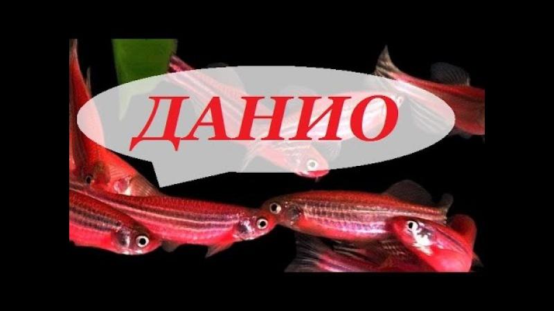 Аквариумная рыбка Данио рерио Размножение данио содержание уход