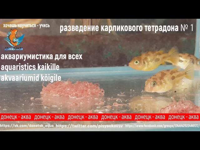 разведение тетрадона 1 Carinotetraodon travancoricus kuidas tõusta miten kasvattaa akvaarioissa