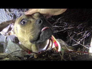 Hope For Paws_ Homeless Pit Bull gives birth in a den during a massive rainstorm