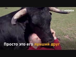Человек спас быка от смерти и тот отплатил ему любовью и верностью