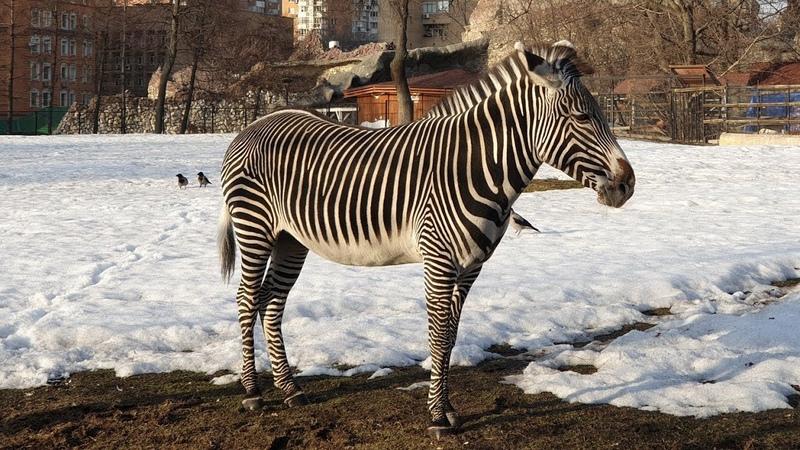 Прогулки по зоопарку. Весна продолжается, оттаяли еноты, выползли зебры из нор
