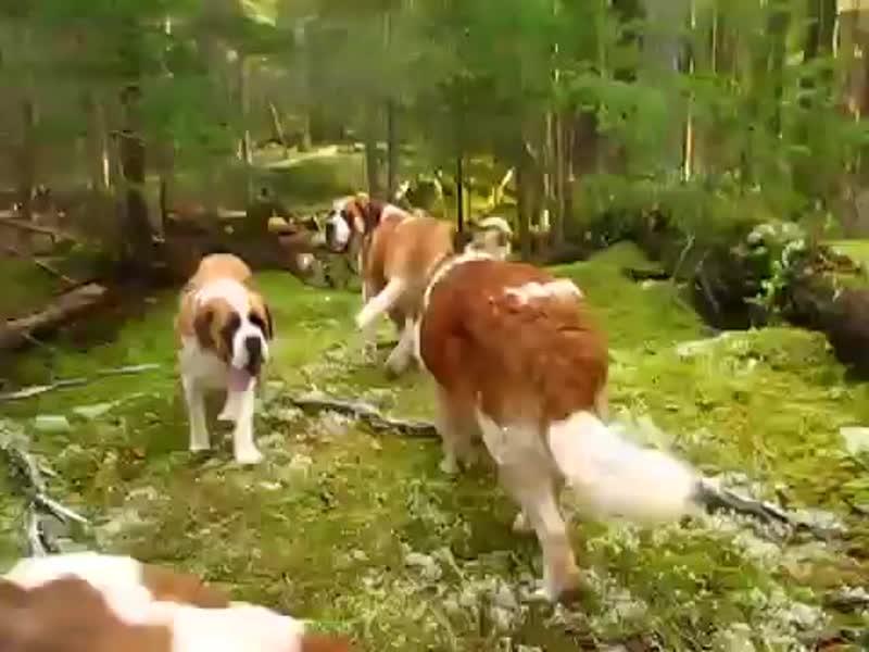 Прогулка с 42 сенбернарами (хорошее настроение, любительское видео в лесу, собаки, Бетховен, стая, ребенок, семья, дочка, лес).