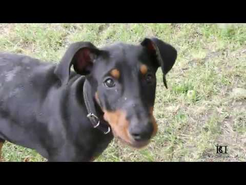 Doberman dog Ares fight and play in pool agency Brima d