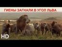 TENCA — ЛЕВ / LION Гиены загнали в угол Льва 2019