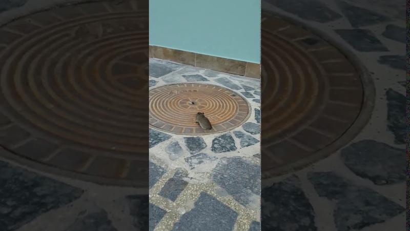 Un șobolan a fost surprins într-o trecere subterană