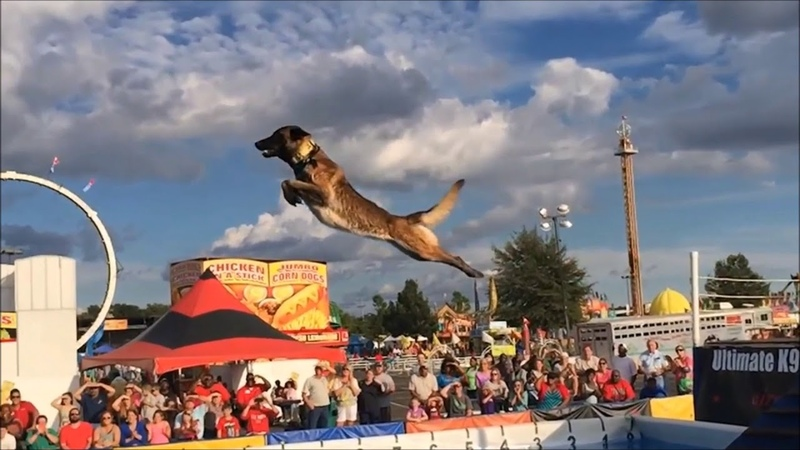 Belgian Malinois, Amazing Athlete