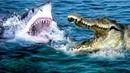 Битва большого гребнистого крокодила с белой акулой, кто победит?
