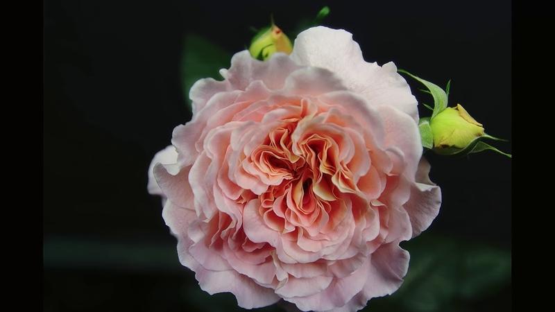Роза Августа Луиза (Чайно гибридная) - Augusta Luise (Tantau Германия, 1999)