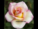 Плетистая роза Свит Сири Sweet Syrie