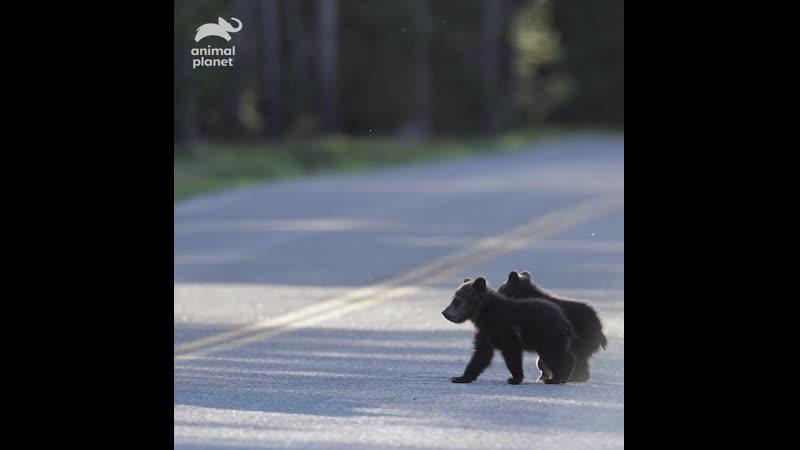 Медведи. Animal Planet