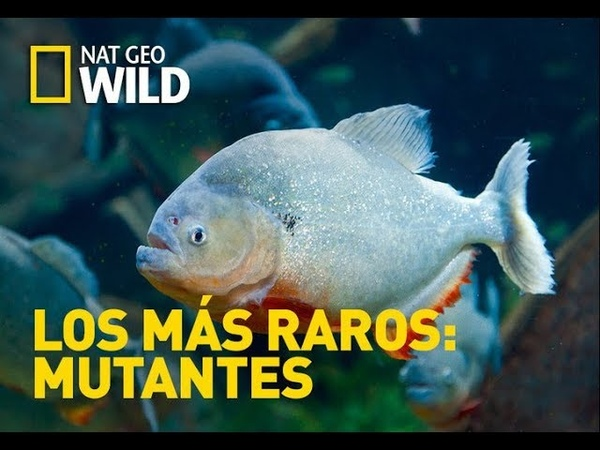 Los animales más raros del mar National Geographic 1080p