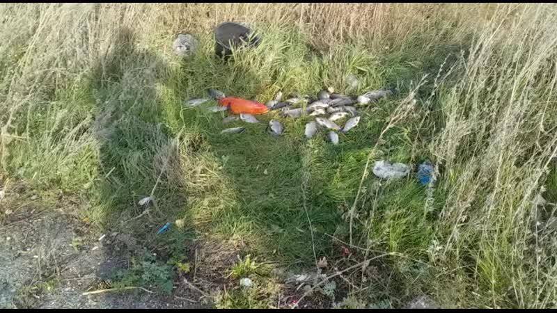 в г. Заинск Татарстан поймали золотого Карпа (красного) 🔥👍😲😲😲