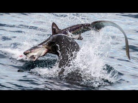 Ối dồi ôi Hàm cá mập to chà bá khỏe như trâu hất tung con mồi 5 vòng - Sự giận dữ Họ nhà Sư Tử Biển