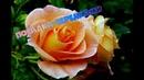 Выращиваем Розы из Черенков.Cuttings Rose (flowers).