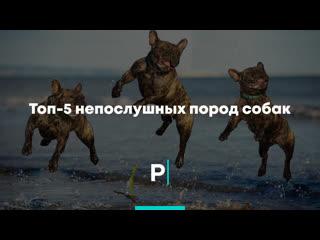 Топ-5 непослушных пород собак